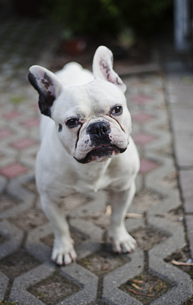 Photograph French Bulldog by Niko Bruntke on 500px