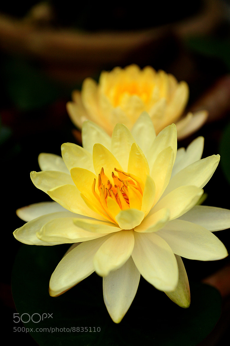 Photograph Yellow lily by Diep Nguyen on 500px