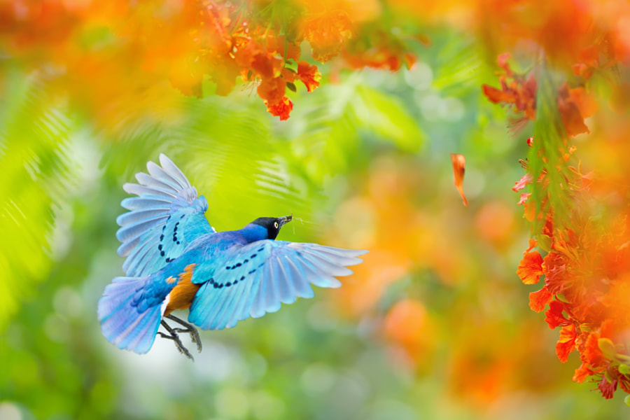 ~ Flying of superb starling ~, автор — FuYi Chen на 500px.com