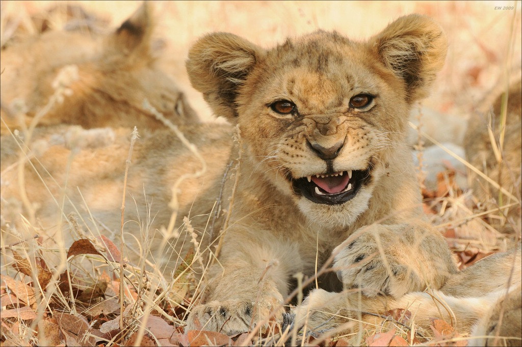 Photograph The next lion king by Elmar Weiss on 500px