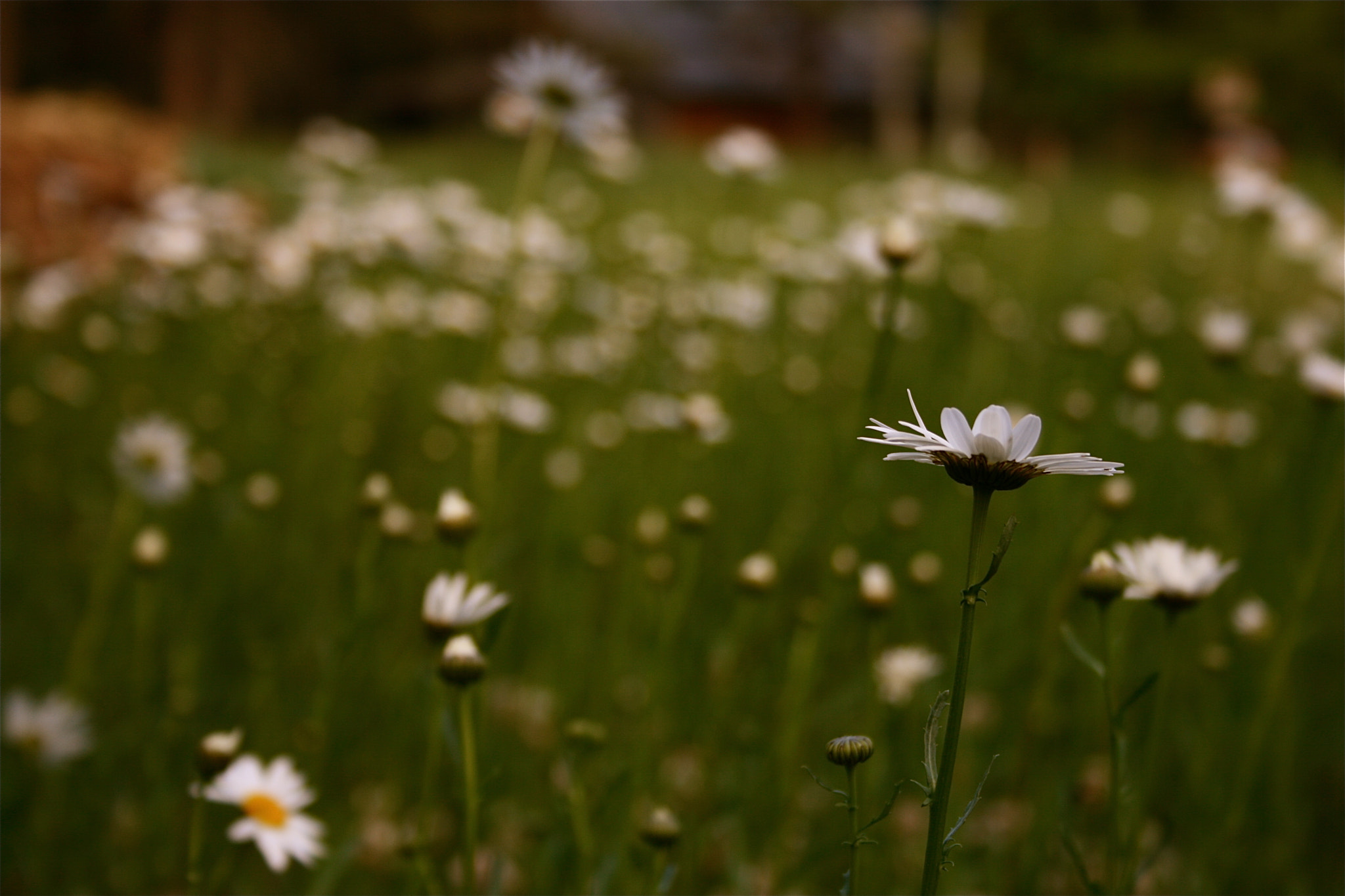 Photograph Daisy Patch by Joseph Winters on 500px