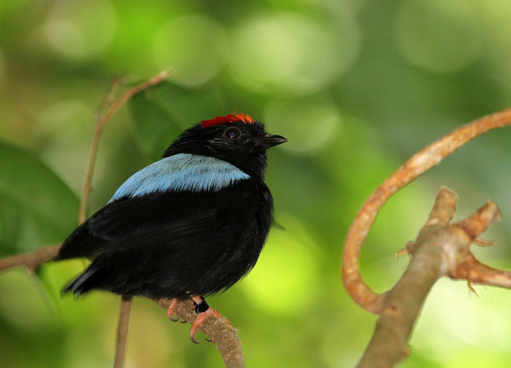 Photograph Blue-backed manakin by Rainer Leiss on 500px