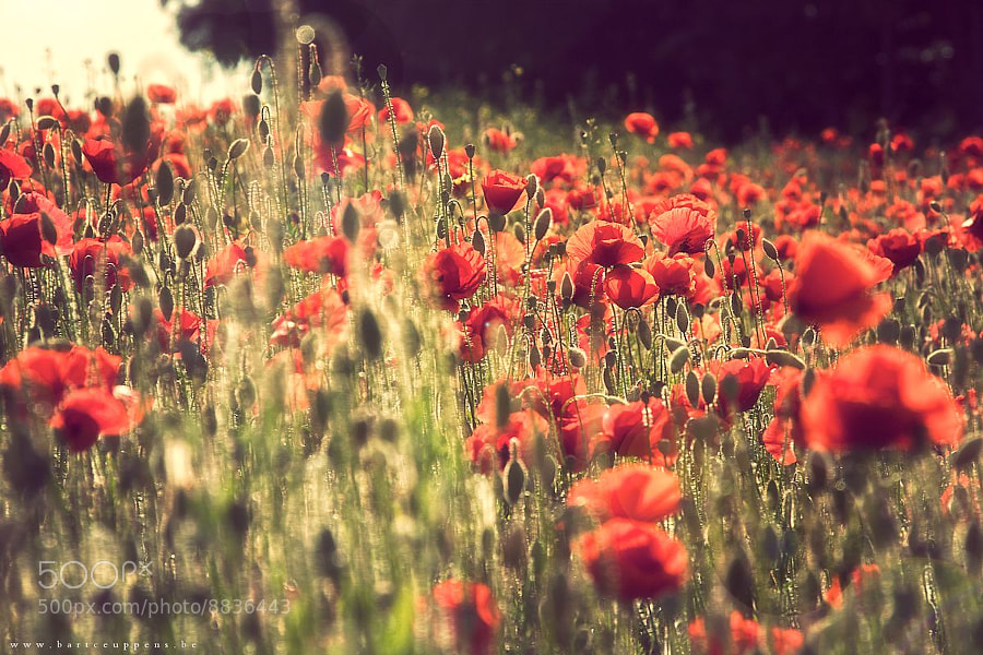 Photograph Poppies ... by Bart Ceuppens on 500px