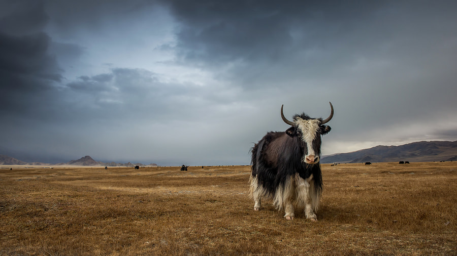 Yak in Altai by Stefan Cruysberghs on 500px.com