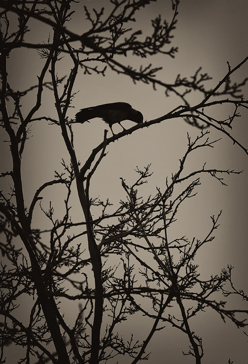 Photograph Crow by S'Javad Miri on 500px