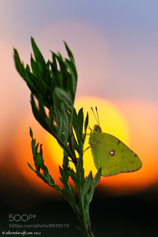 Photograph Colias sunrise by Alberto Baruffi on 500px