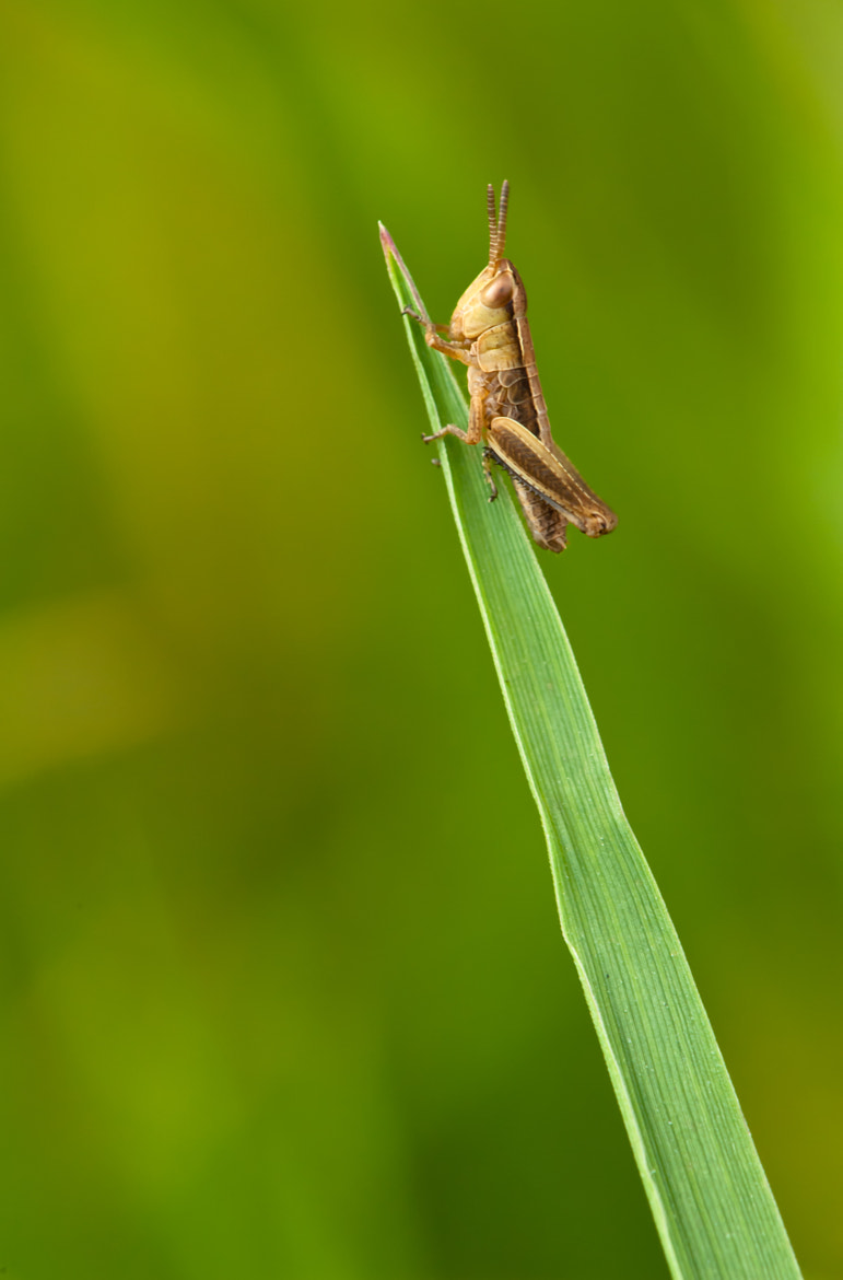 Photograph Grassnothopper by Philip Braude on 500px