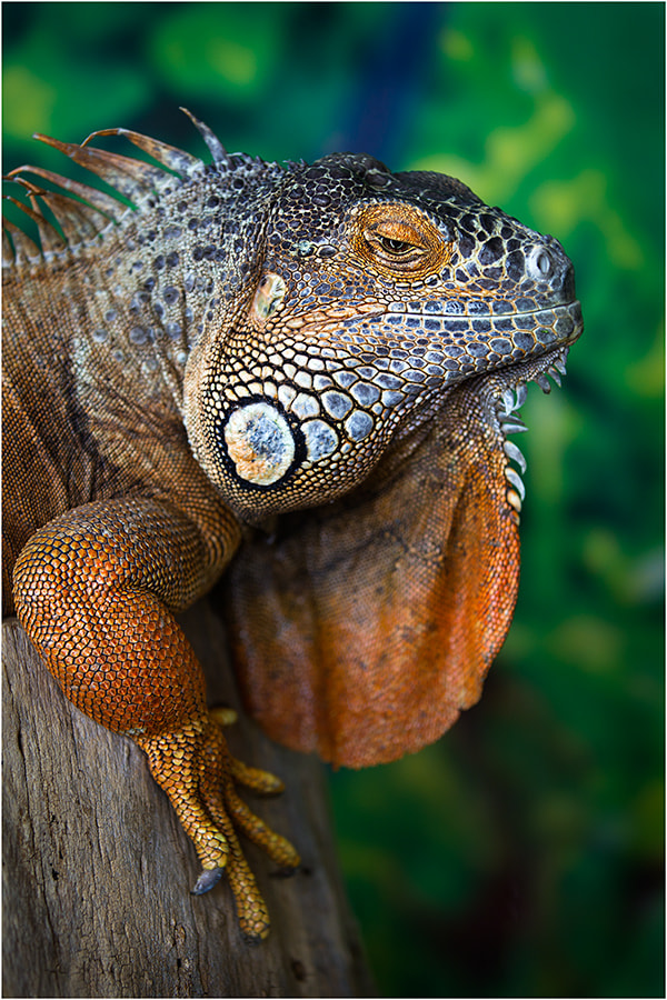 Photograph Iguana by Wanderingval :-)  on 500px