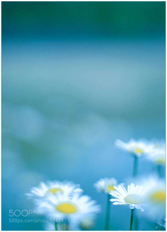 Photograph daisy blues by Vikas Garg on 500px