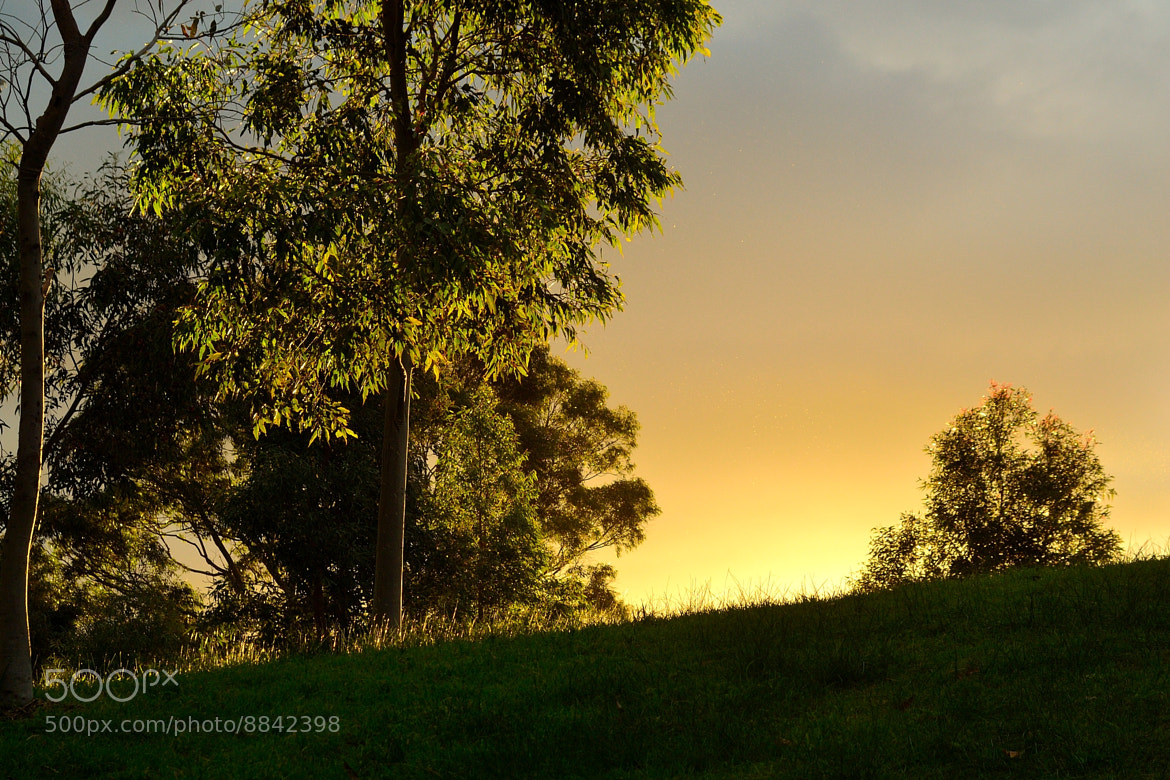 Photograph Backlit Gums Near Sunset by Percy Ferry on 500px