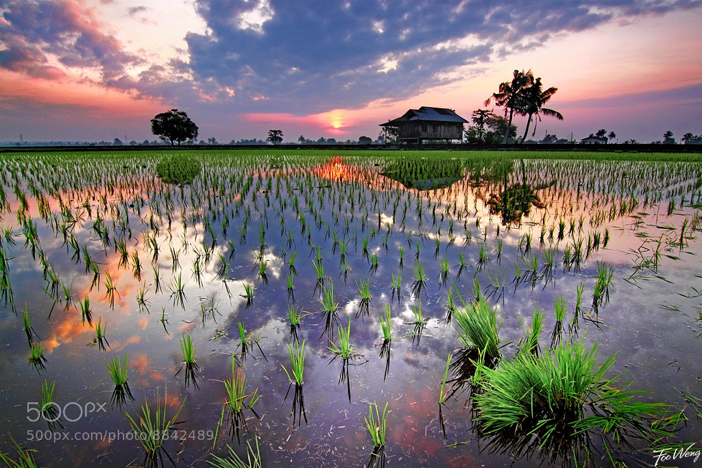 Photograph A Morning at the Paddy Field by Foo Weng on 500px