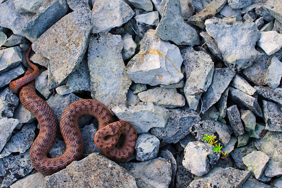 Photograph smooth snake by Martin Amm on 500px
