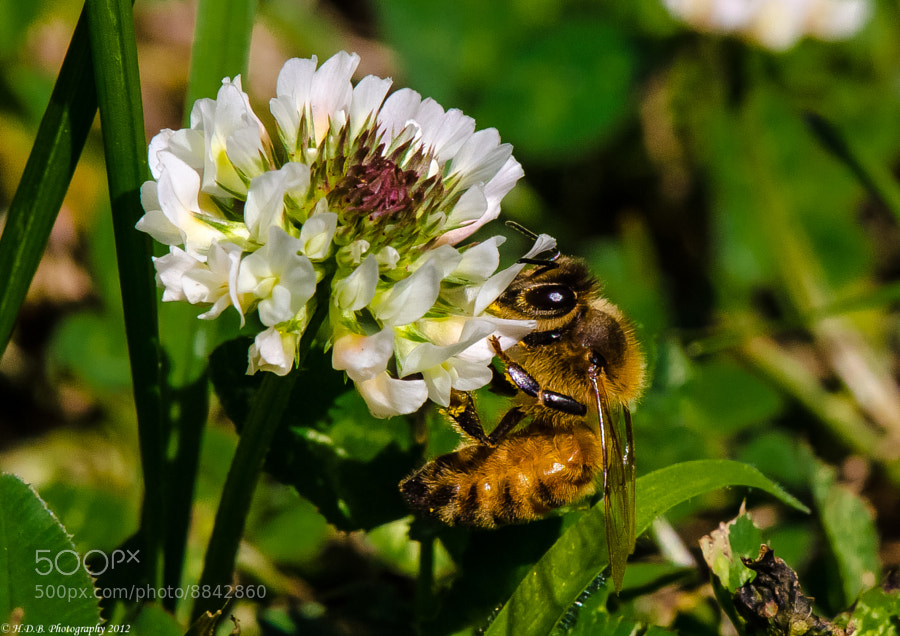Photograph Honey Bee At Work by Harold Begun on 500px