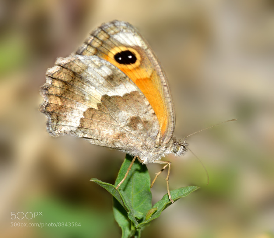Photograph Pyronia  tithonus - Lobito agreste  by Pilar Bau on 500px