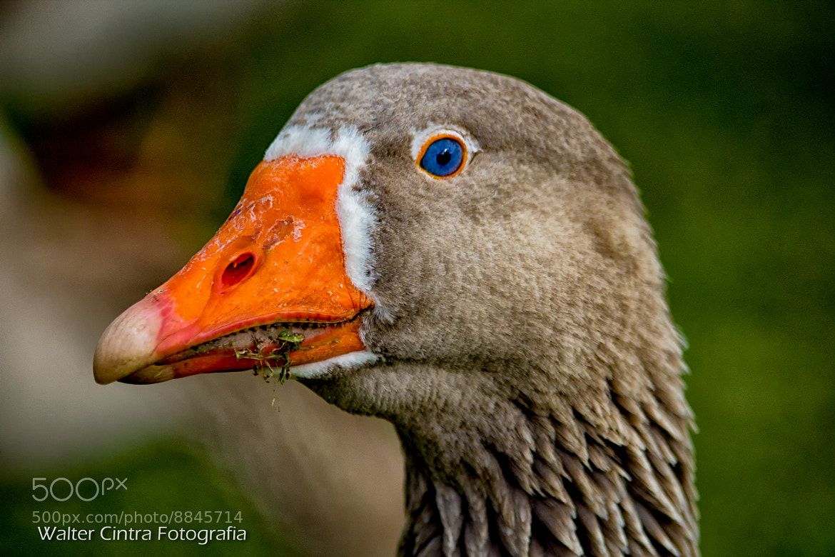 Photograph Head Goose by Walter Cintra on 500px
