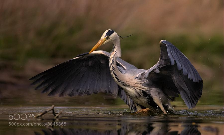 Photograph gray heron by bartek nosarzewski on 500px