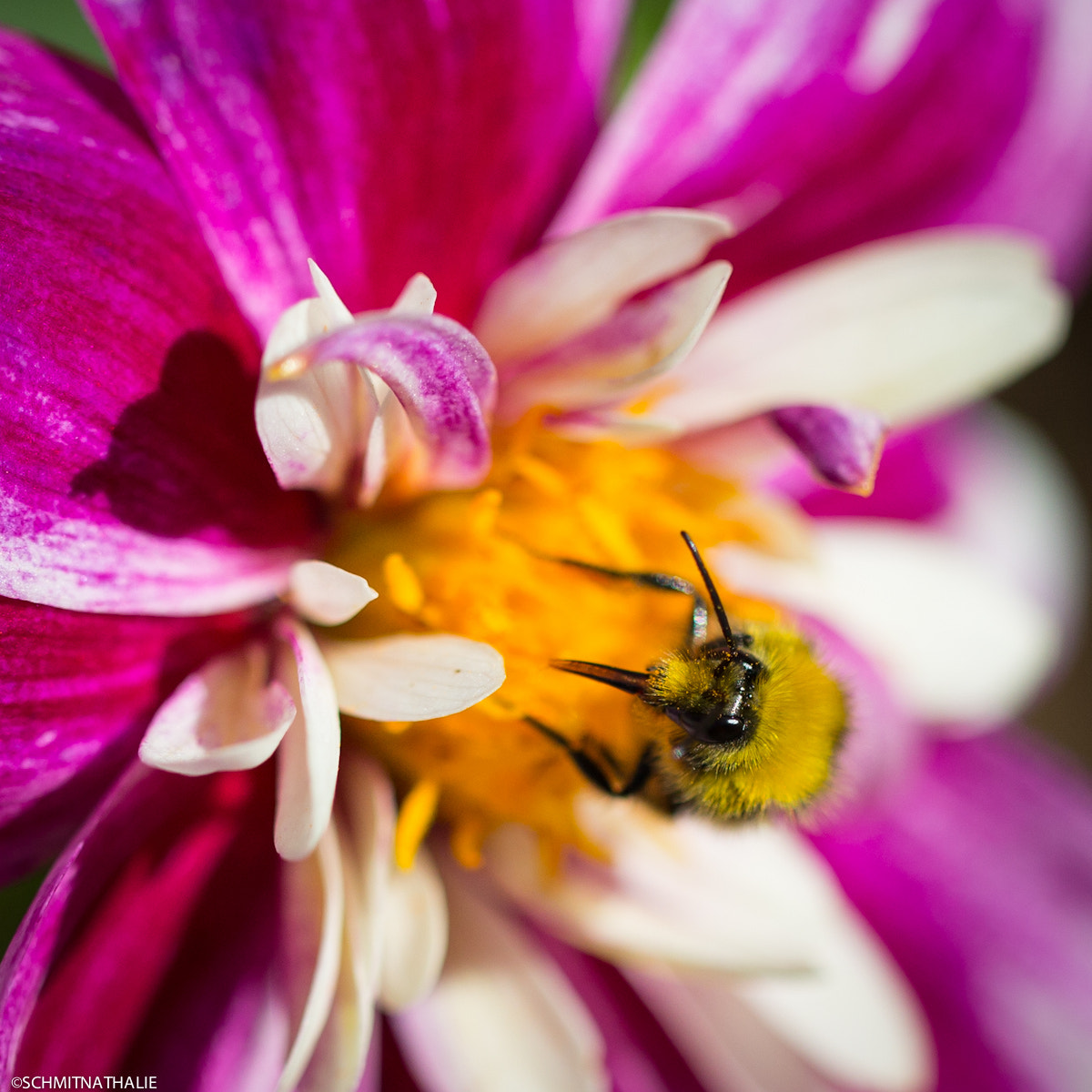 Photograph Bumblebee by Nathalie Schmit on 500px