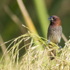 Постер, плакат: Scaly Breasted Munia