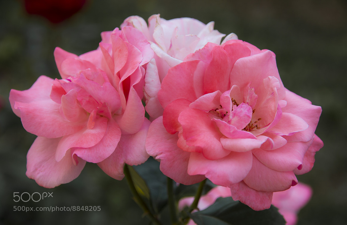 Photograph Pink Roses... by Margo Rita on 500px