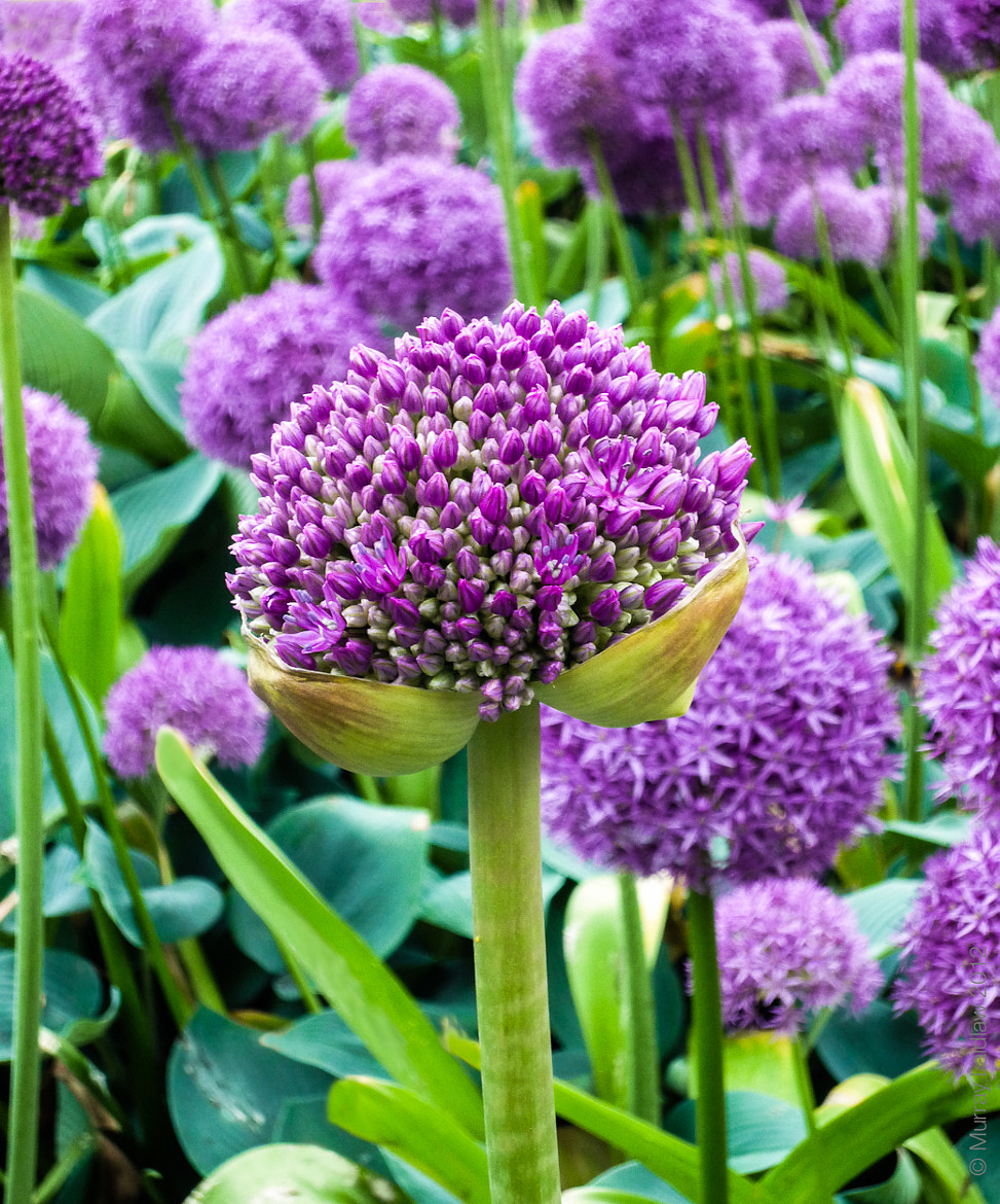 Photograph Alliums by Murray Laidlaw on 500px