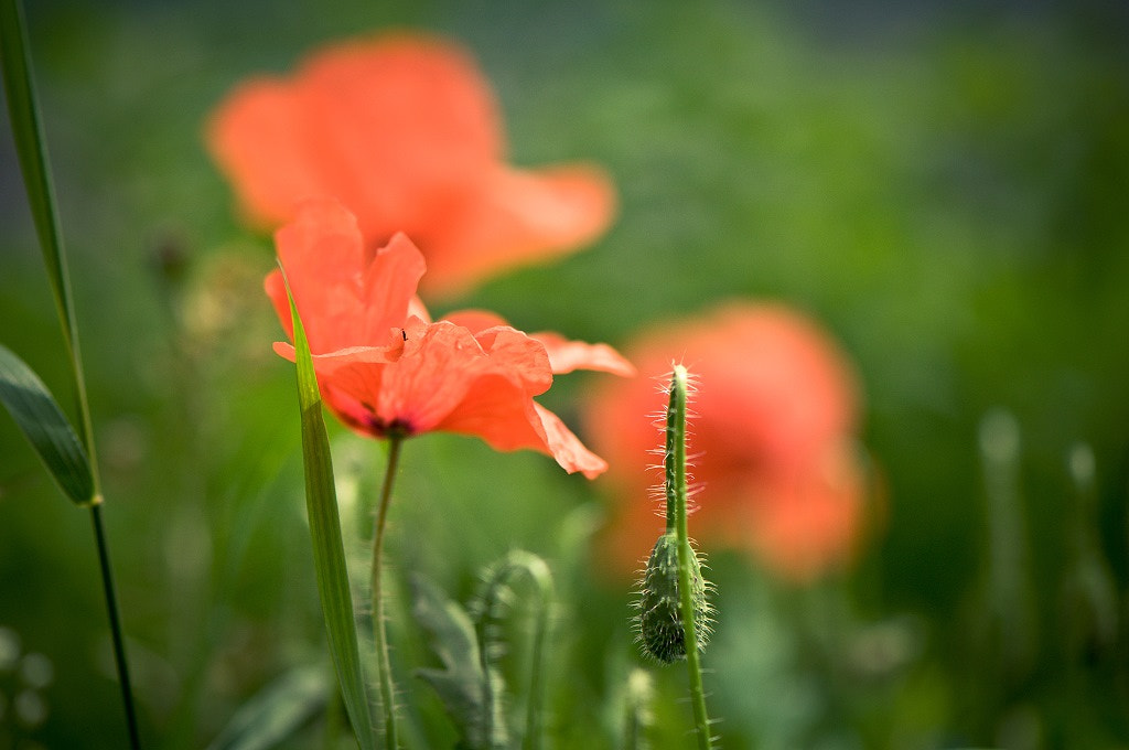 Photograph Poppies! by Melanie Langer on 500px