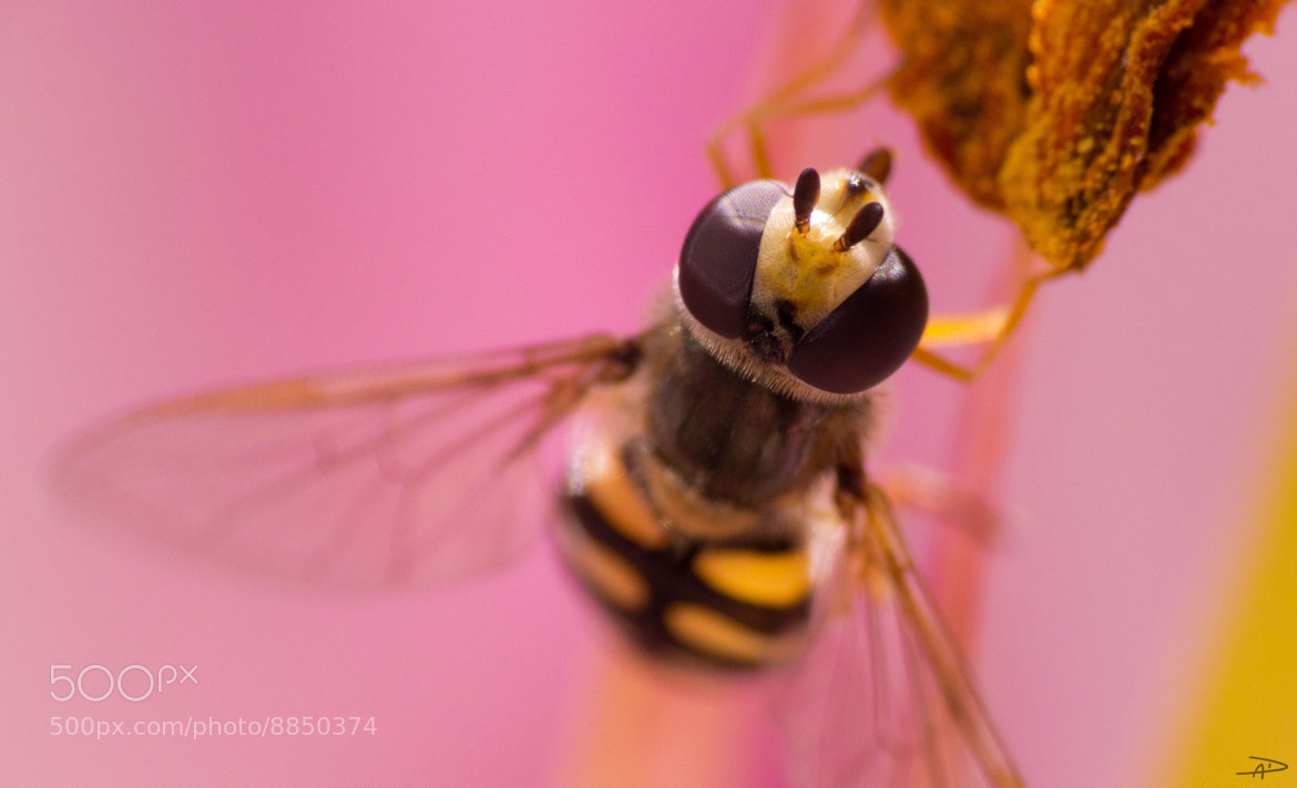 Photograph Pink Hoverfly by Andy Dixon on 500px