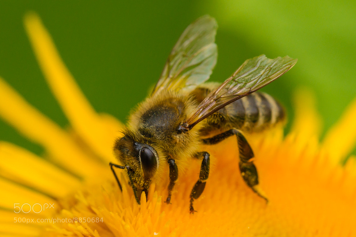 Photograph Busy Bee by Markus _ on 500px