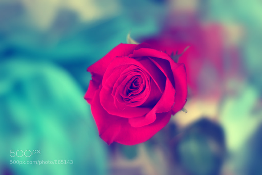 Photograph Red rose by Евгения Реброва on 500px