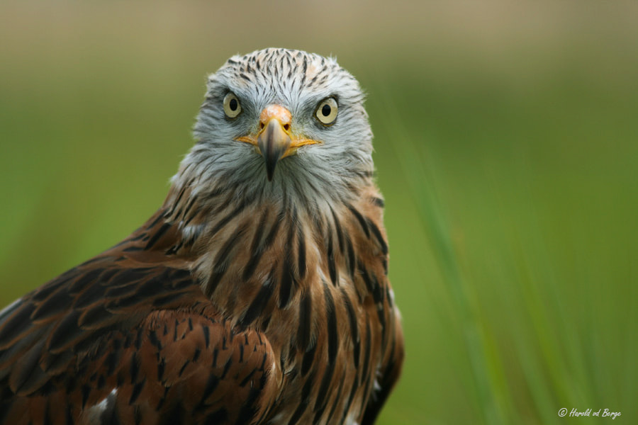 Photograph Red Kite by Harold van den Berge on 500px