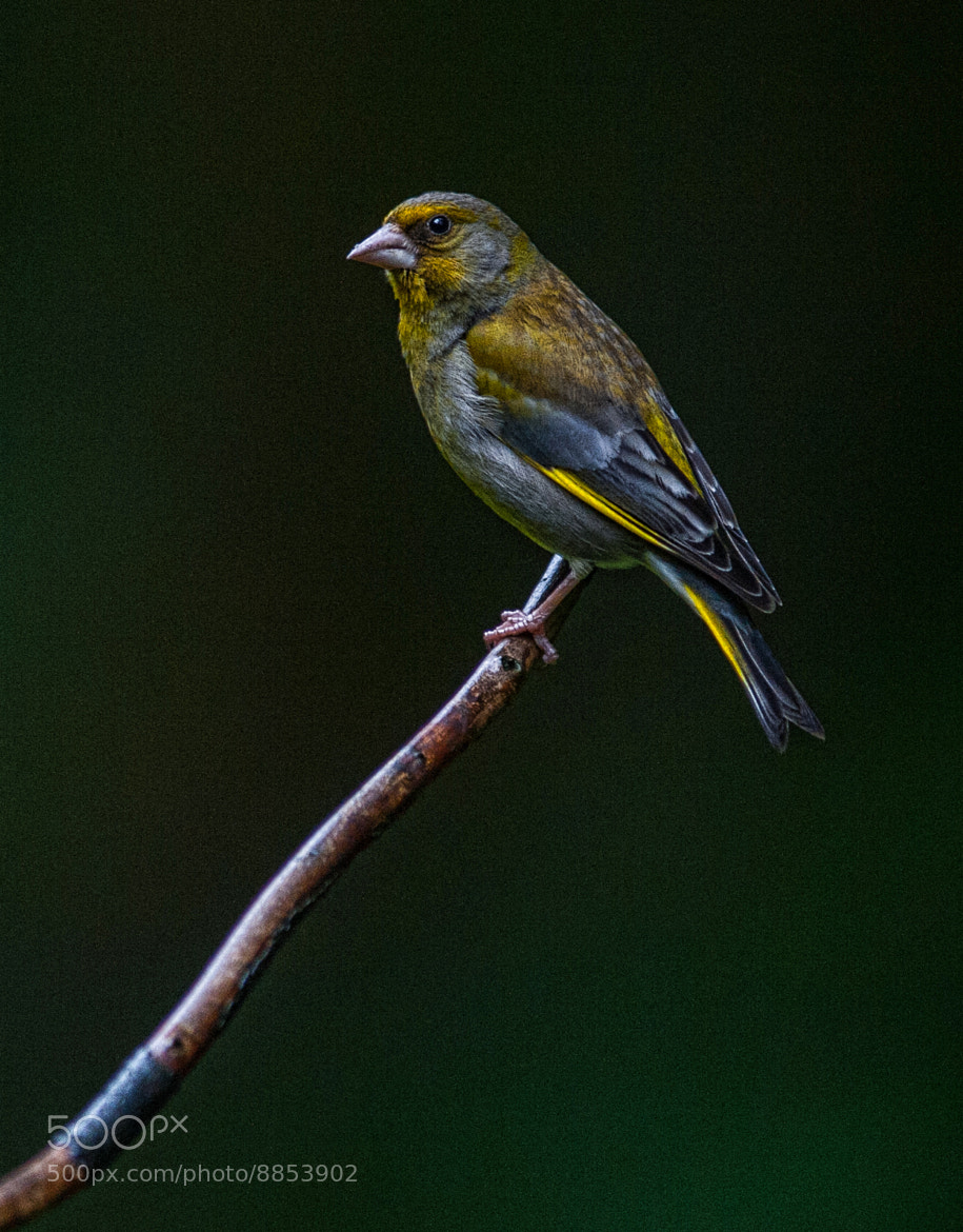 Photograph Greenfinch by WilsonAxpe /  Scott Wilson on 500px