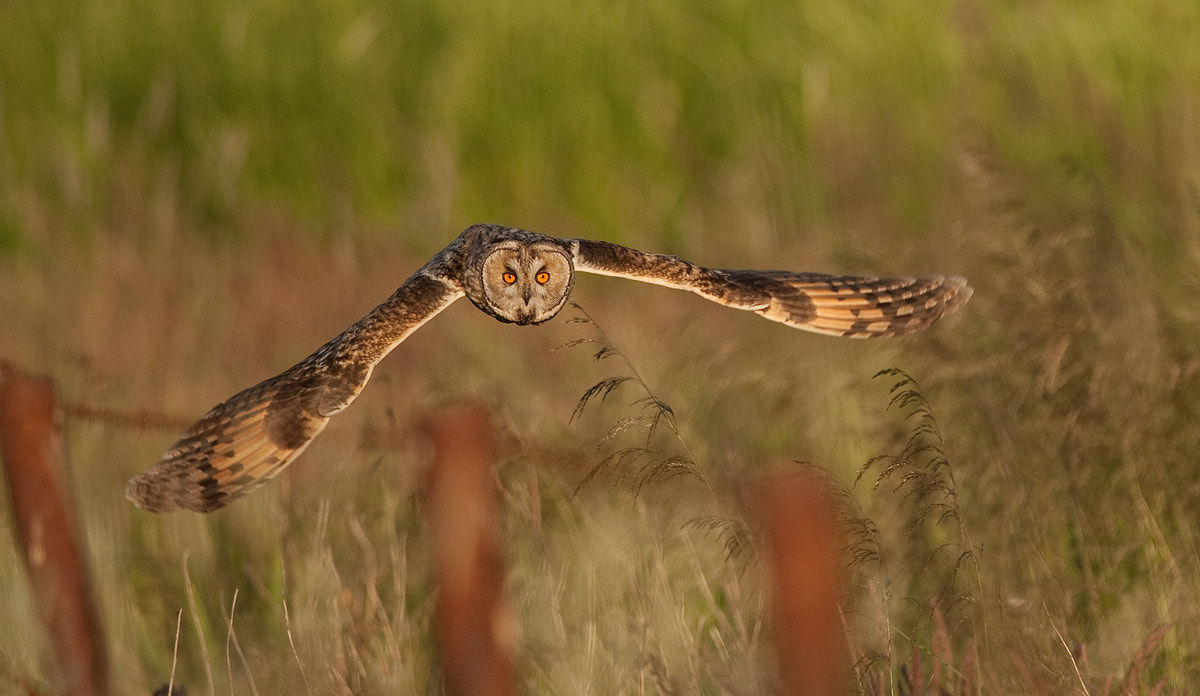 Photograph Long Eared Owl flying by Svend Erik Nørgaard on 500px