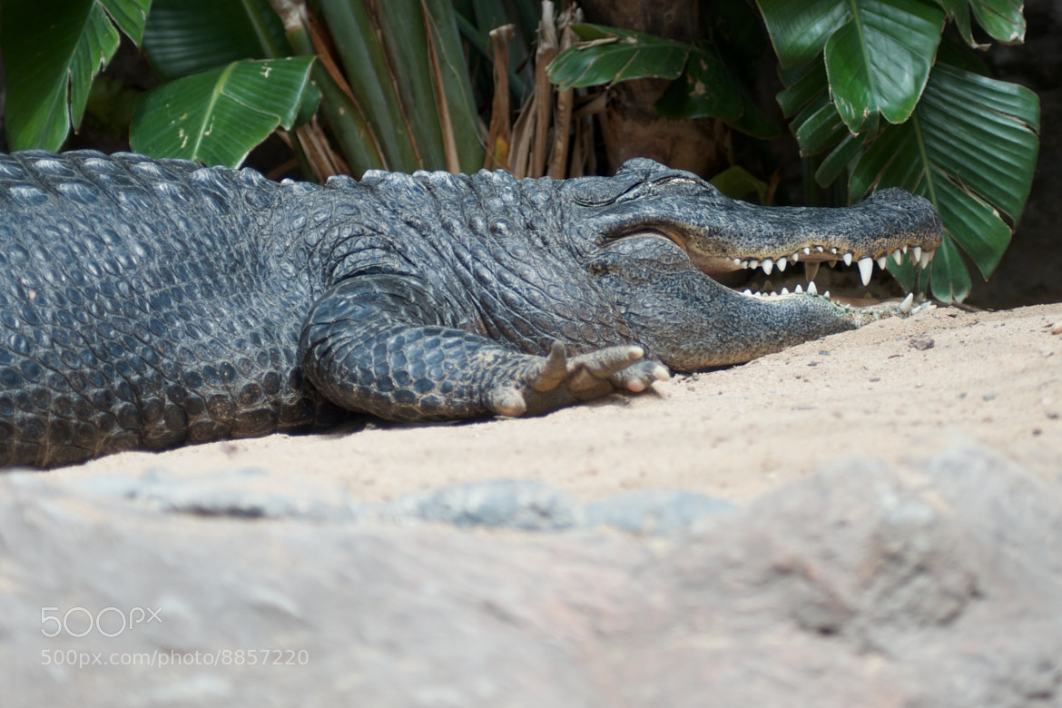 Photograph Can crocodiles laugh? by Ulf Klose on 500px