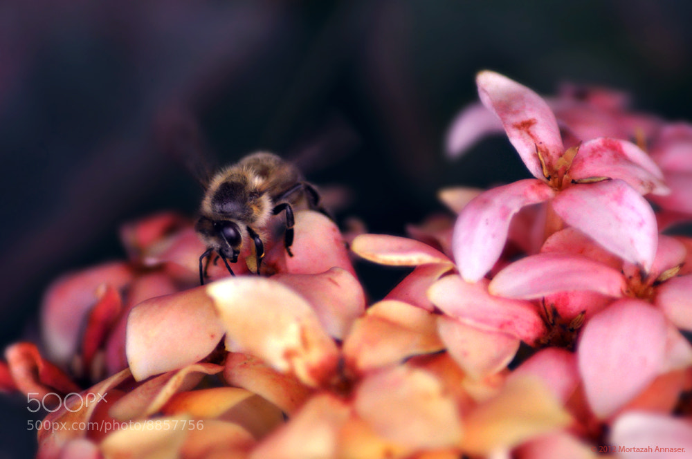 Photograph Bee : النحلة by Mortazah  on 500px