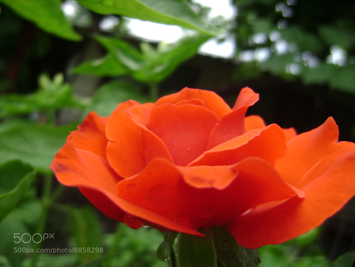 Photograph Rose by Vasile Mihai on 500px