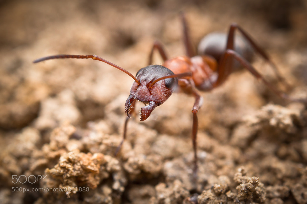 Photograph field ant by Alexander Rauch on 500px