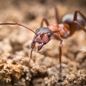 field ant by Alexander Rauch (AlexanderRauch)) on 500px.com