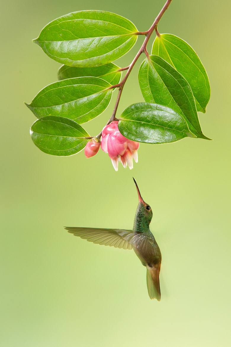 Photograph Green -Crowned Brilliant Hummingbird by Hali Sowle on 500px