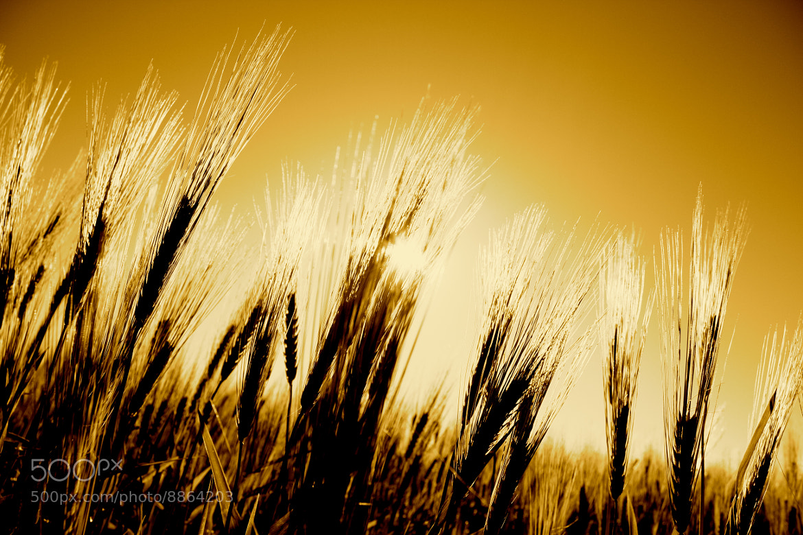 Photograph Wheat Belt by Michael Tedford on 500px