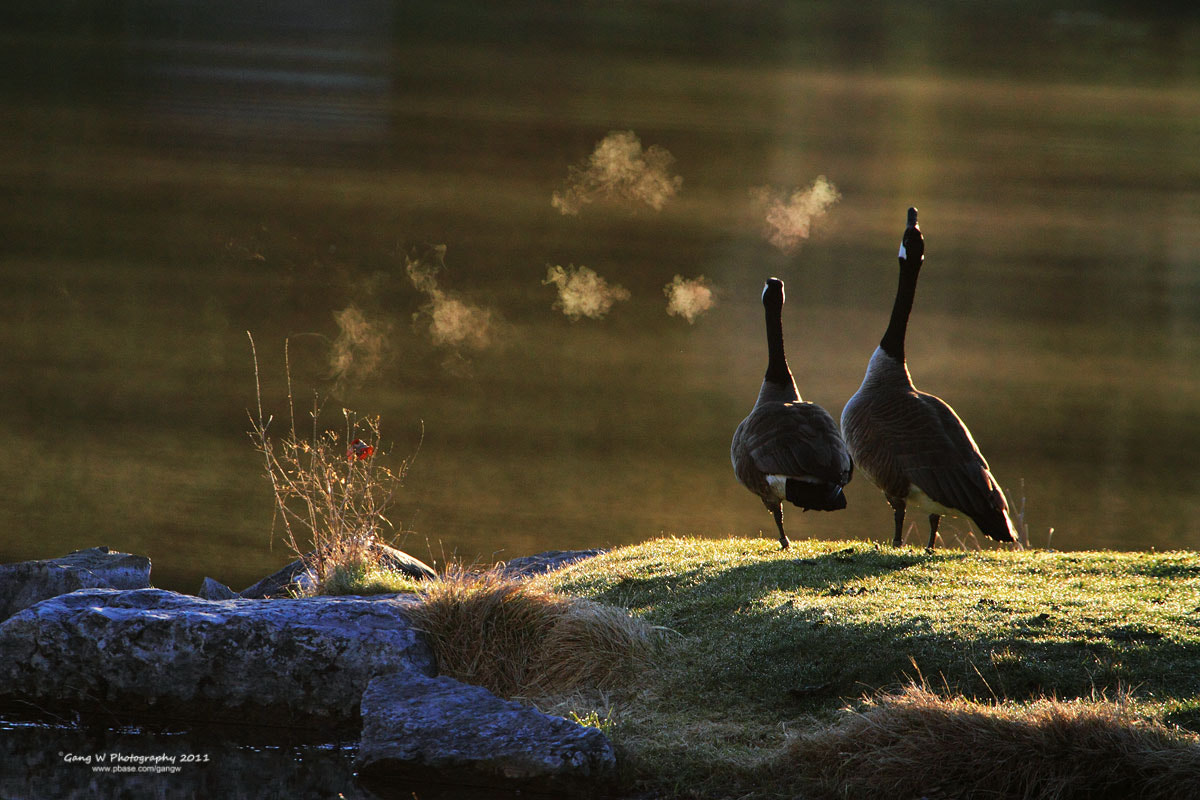 Photograph Canada Geese by Gang Wu on 500px