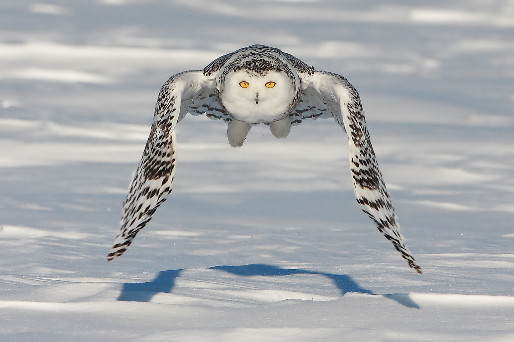 Photograph Snowy Owl by Gang Wu on 500px