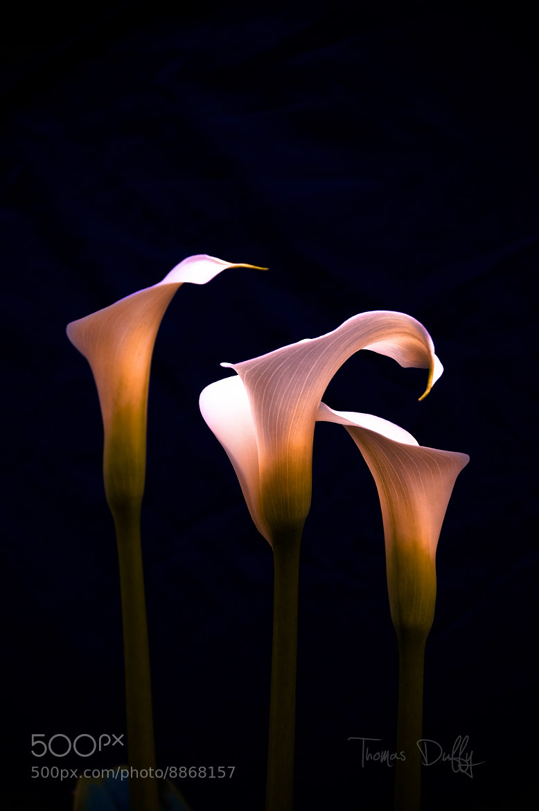 Photograph Calla Lilies Three by Thomas Duffy on 500px
