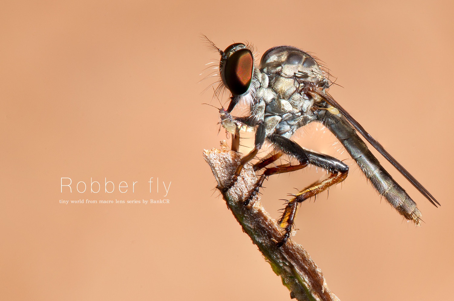 Photograph Robber fly by poneaks sirivetaumnuikit on 500px
