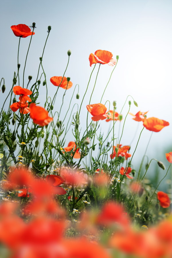 Photograph Poppy field by Emilia Ungur on 500px
