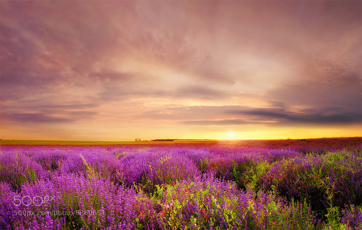 Photograph Lavender at Sunset by Albena Markova on 500px