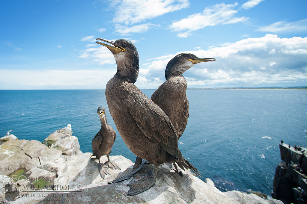 Photograph Juvenile Shags by Will Nicholls on 500px