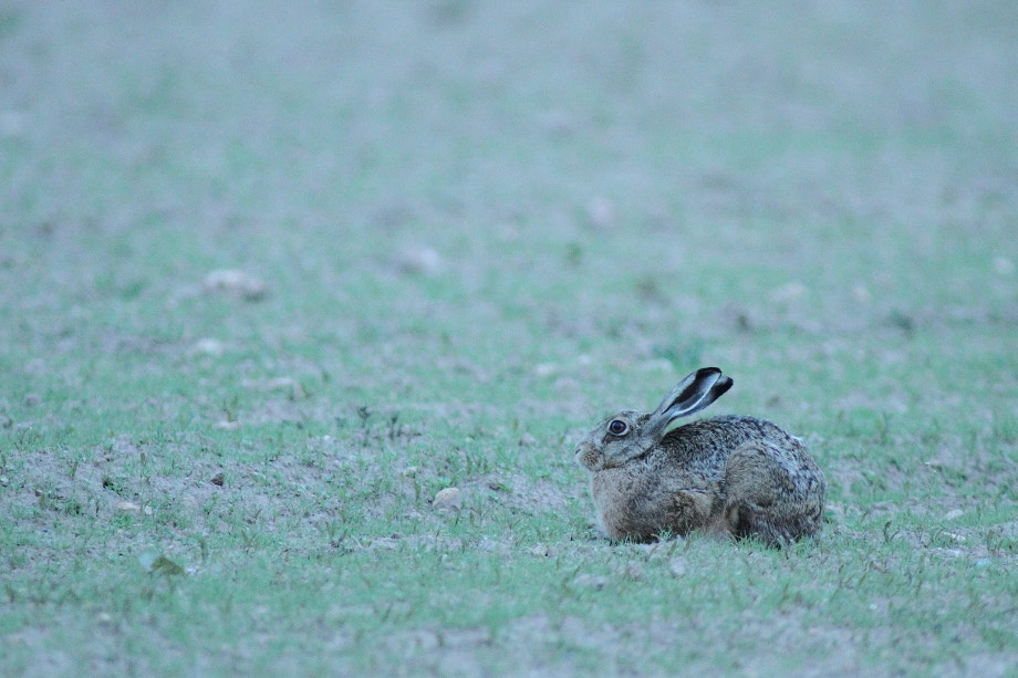 Photograph Morning hare by Sébastien G on 500px