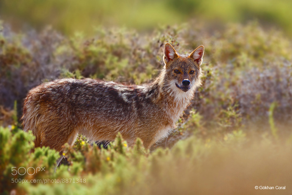 Photograph Golden Jackal by Gökhan CORAL on 500px