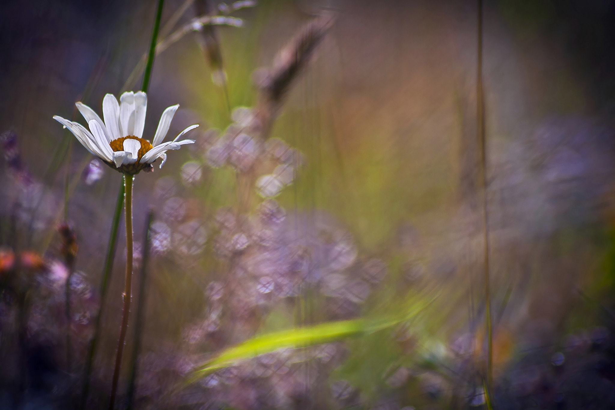 Photograph ♥ daisy facing the wind ♥ by Yohanna Del'heaumeau on 500px