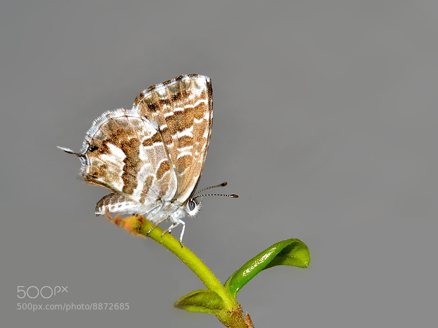 Photograph Cacyreus marshalli - Mariposa Africana by Pilar Bau on 500px