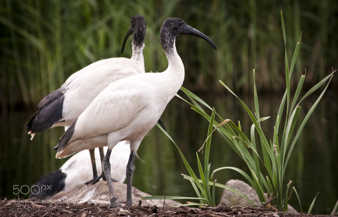 Photograph Ibis by Paul Cons on 500px